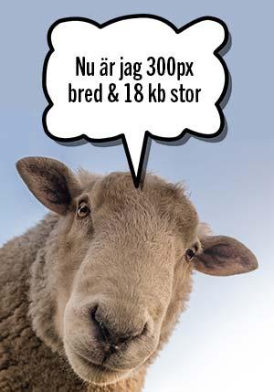 Bild föreställande ett får som säger-Nu är jag 300 px bre och 18kb stor. Bilden täcker 300 pixlar i bredd.